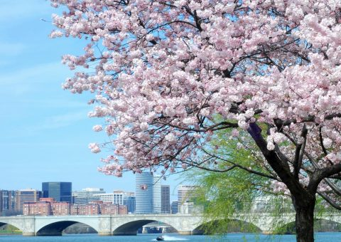 Cherry blossoms on a tree along the Patomac River.