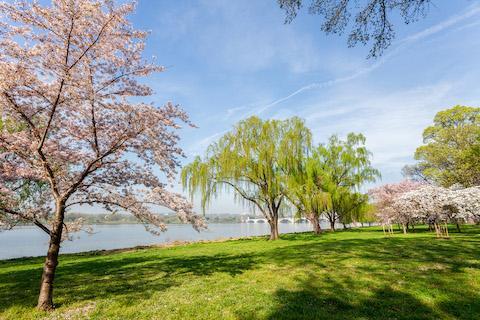Cherry Blossom and Bridge on Potomac River, Washington DC