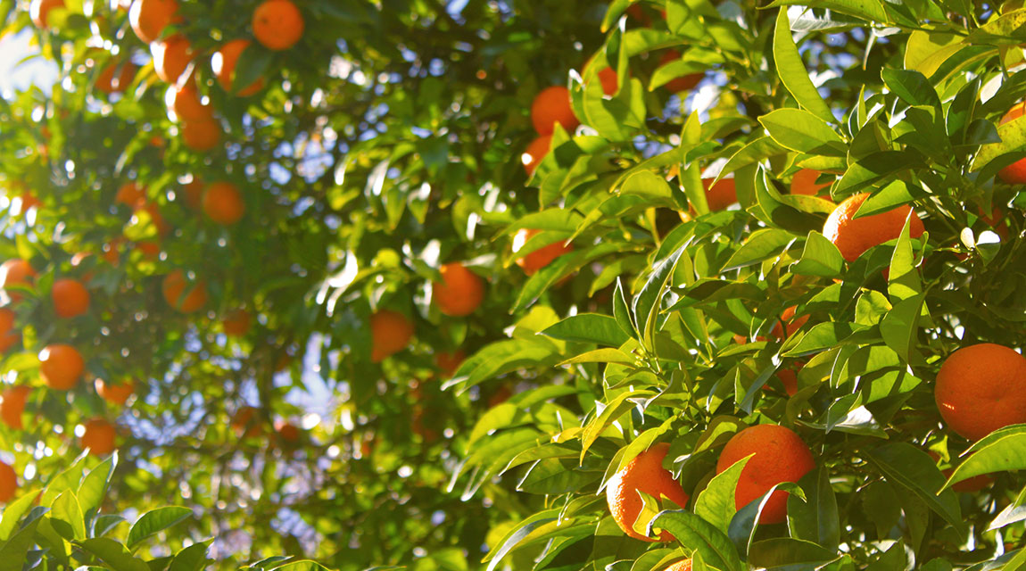 WSJ: Oranges_Trees_Newport_Academy